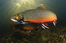 Male Brook Trout in Maine