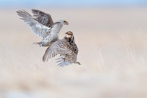 Sharp-tailed Grouse and Greater Prairie-Chicken in South Dakota