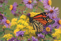 Monarch Butterfly in Upper St. Clair, Pennsylvania