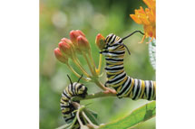 Monarch Butterfly Caterpillars on Butterfly Weed, Pennsylvania