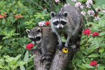 Mother Raccoon with Young in Florida