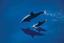 Spinner Dolphins in Indonesia