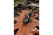 Spotted Salamander in New York State