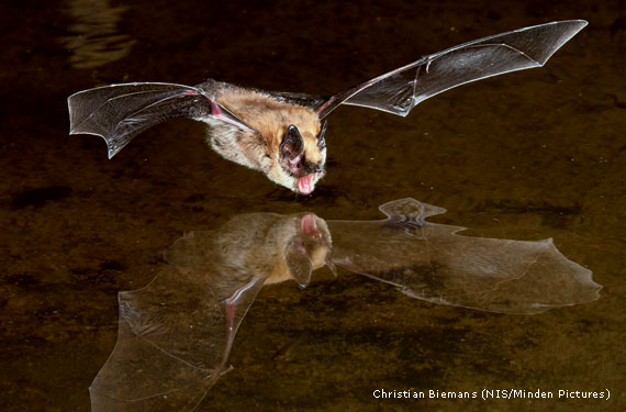 Because The Species Resists White Nose Syndrome Scientists Are Studying Brown Bats For Clues To Potential Treatments