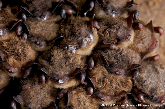 In A West Virginia Cave Little Brown Bats Display The Distinctive White Nose Syndrome Fungus On Their Ears Winguzzles