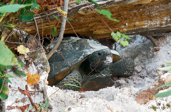 The Subterranean World of Gopher Tortoises