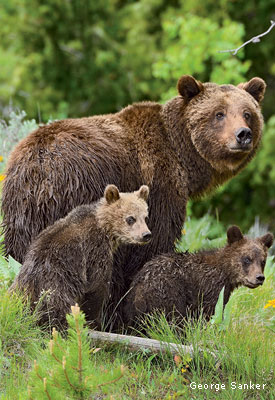 Grizzly Bear Cubs by George Sanker