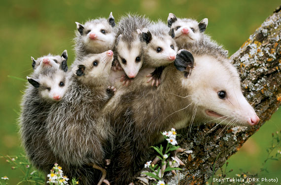 Give Opossums a Break