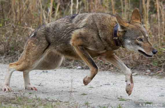 Saving The Red Wolf