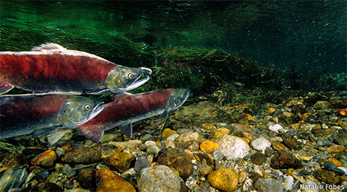 salmon swimming underwater