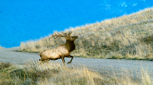 Bull elk on road