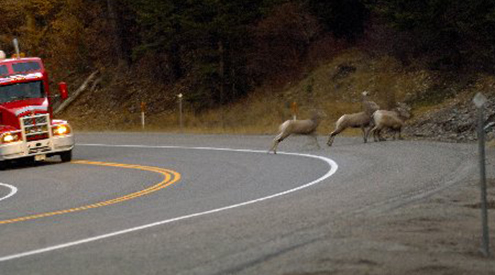 Bighorns and semi on road