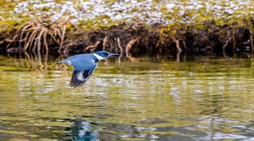 kingfisher flying over water