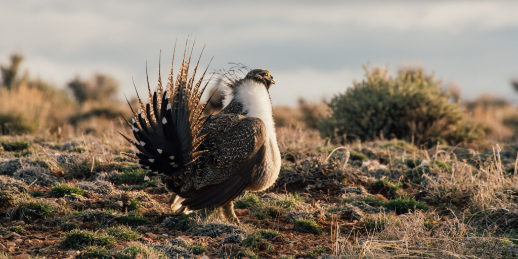 The Final Step in Dismantling Common Sense Sage Grouse Reforms