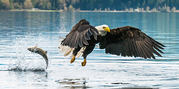 Bald Eagle Fishing in Canada by Larry Parish