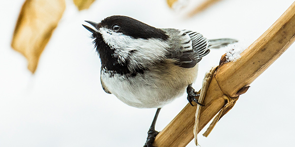Black Capped Chickadee in Winter Michigan by Jennifer Kocher