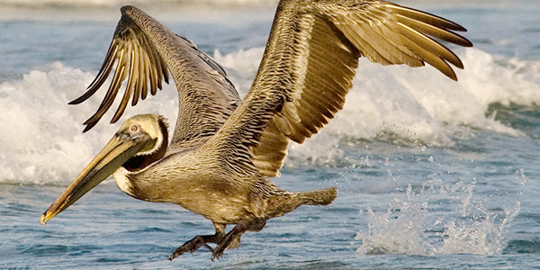 brown pelican national wildlife federation