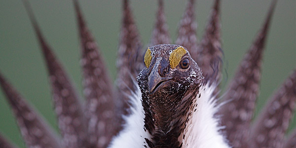 Greater Sage-Grouse, Shutterstock