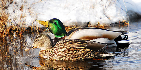 Mallard National Wildlife Federation