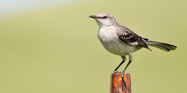 BEST Northern Mockingbird (Mimus polyglottos) Singing at ...
