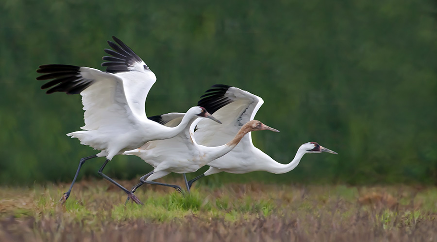 three whooping cranes taking flight