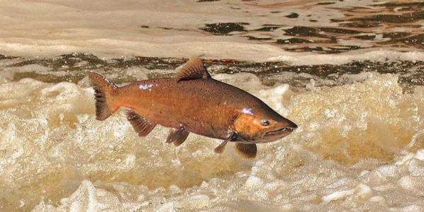Chinook Salmon | National Wildlife Federation