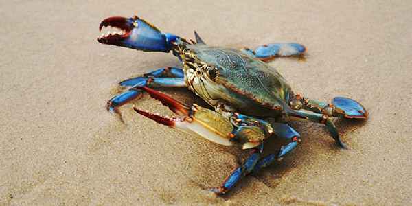 Image result for blue crab