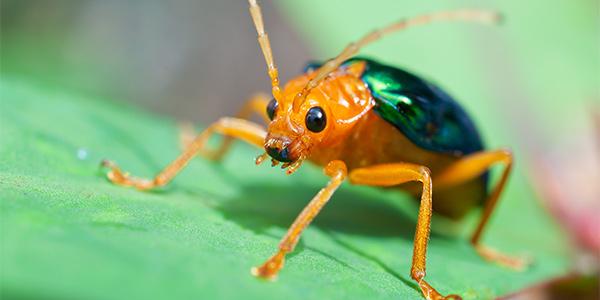 bombardier beetles national wildlife federation