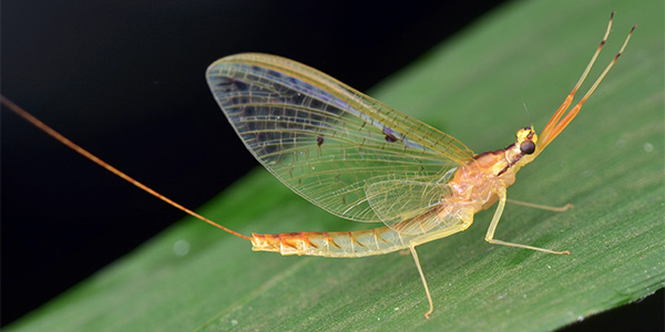 Mayflies | National Wildlife Federation
