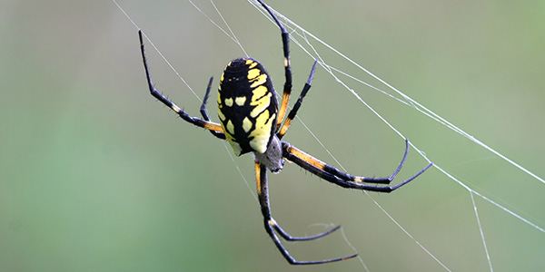 yellow garden spider - Garden Spider
