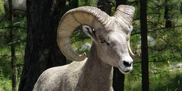 Bighorn sheep photo by William Borne