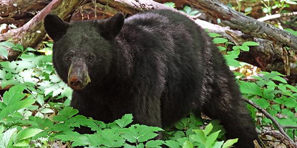 Black Bear National Wildlife Federation - Us-black-bear-population-map