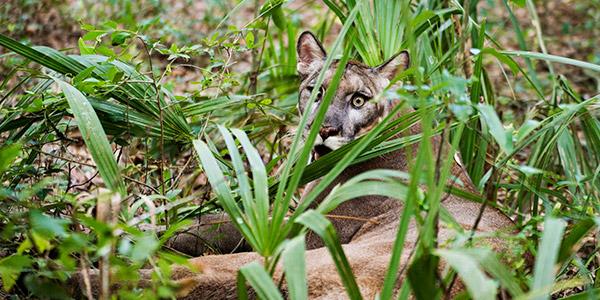 Florida Panther National Wildlife Federation