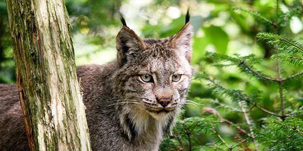 Canada Lynx National Wildlife Federation