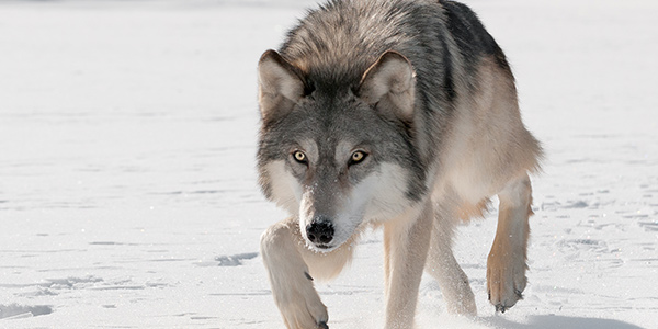 Gray Wolf National Wildlife Federation