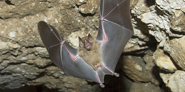 Jamaican Fruit Eating Bat