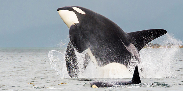 Orca   National Wildli...