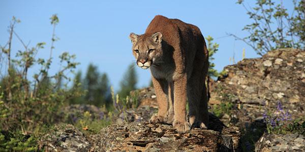 Mountain Lion | National Wildlife Federation