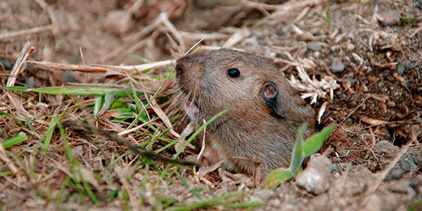 pocket gopher in hole