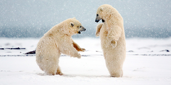 Polar Bear Cubs Photo Credit: Michael Henry