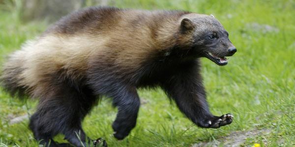 Image result for wolverine