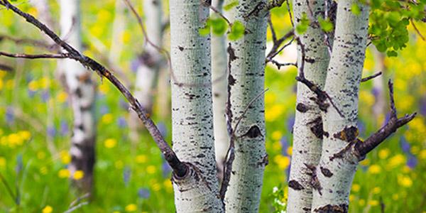Quaking Aspen | National Wildlife Federation