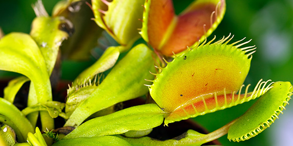Venus Flytrap National Wildlife Federation