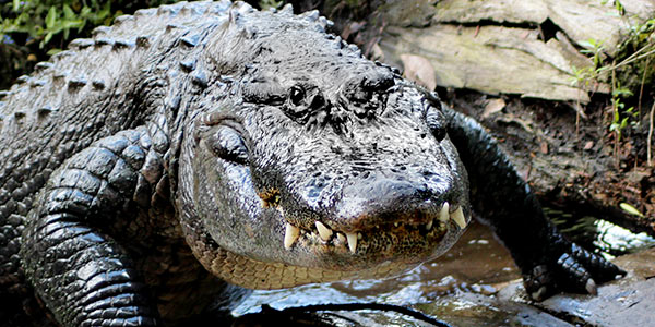 American Alligator   National Wildlife Federation  American Alliga...