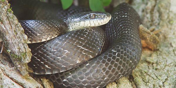 Eastern Rat Snake National Wildlife Federation
