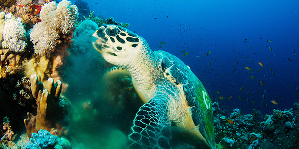 Hawksbill Sea Turtle | National Wildlife Federation