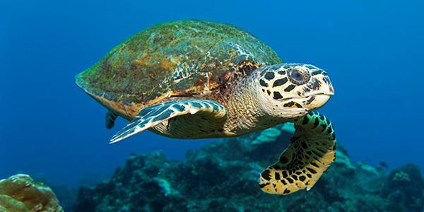 Loggerhead Sea Turtle | National Wildlife Federation