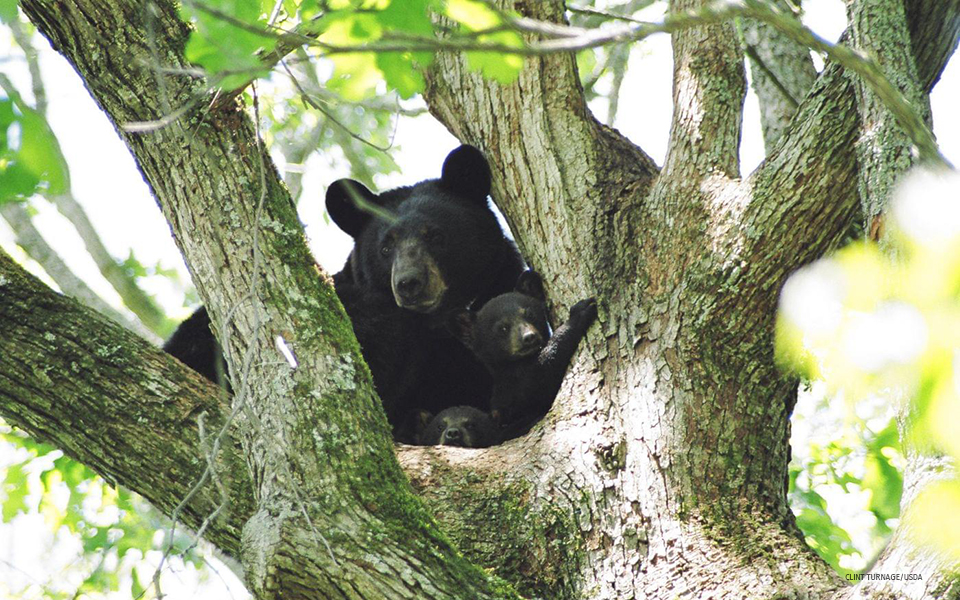 Louisiana black bear adult and cub