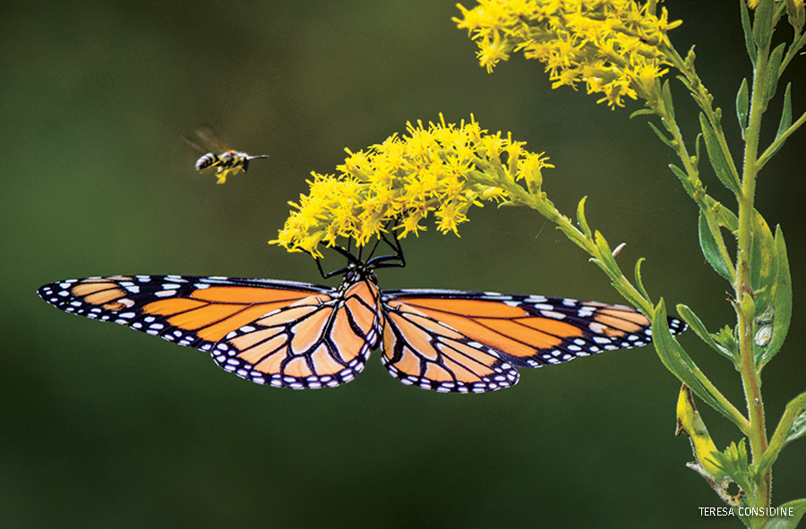 Monarch Butterfly and Yellowjacket