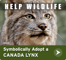 Help Wildlife. Symbolically adopt a Canada lynx today!